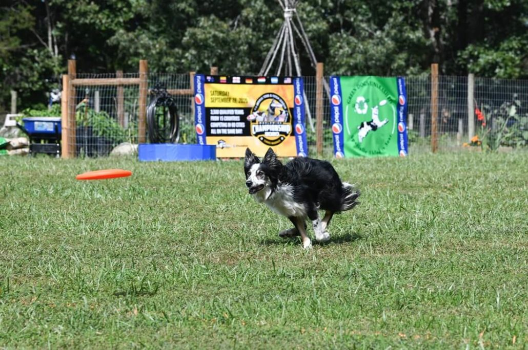 Hundefrisbee Sport - Hund rennt hinter Frisbee her